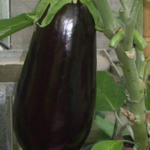 Aubergine Black Pearl