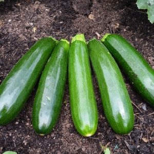 Courgette Dunja F1