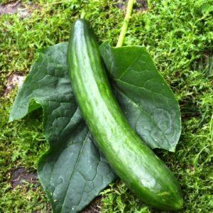 Cucumber Helena