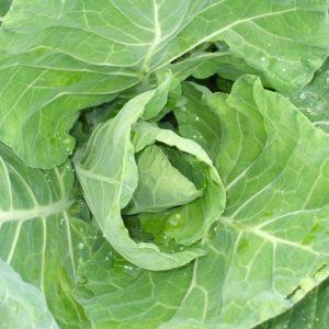 Spring Cabbage Wintergreen