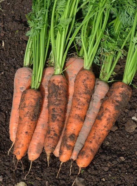 Organic Carrot Solvita Tamar Organics