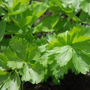 Celery Leaf Early Bell