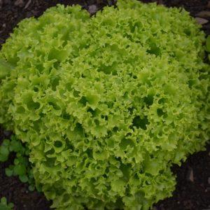 Lettuce Lollo Biondi