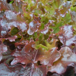 Lettuce Red Salad Bowl
