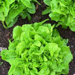 Lettuce Till