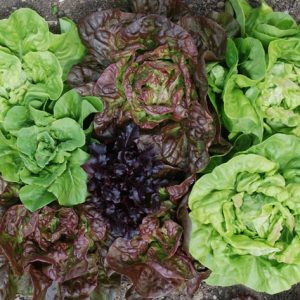 Lettuce Mixed Leaves