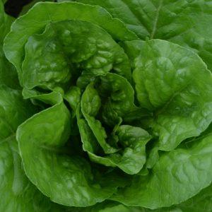 Lettuce Totana