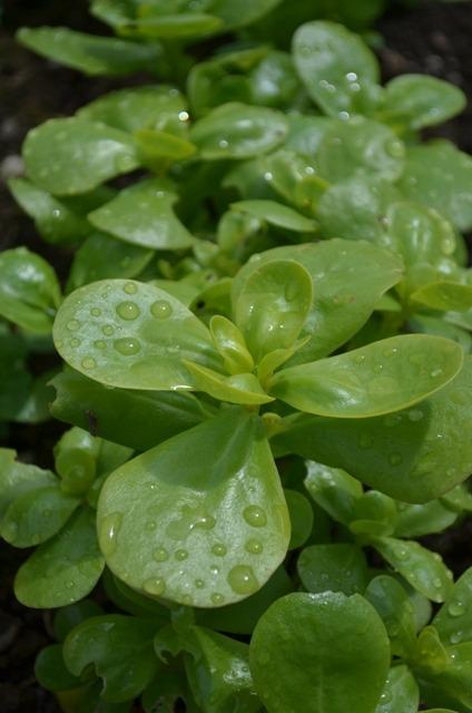 Growing Purslane How To Grow Edible Purslane In The Garden: Organic Summer Purslane