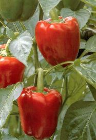 Pepper Bendigo