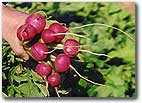 Radish Cherry Bell