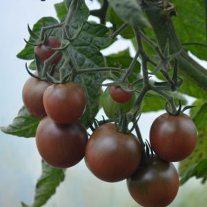Tomato Black cherry