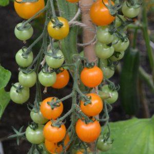 Tomato Goldiana