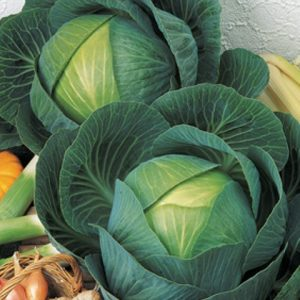 Cabbage Marner Lagerweiss