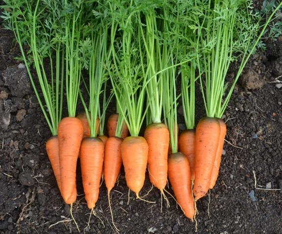 Organic Carrot Oxhella Tamar Organics