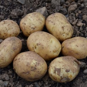 FIRST EARLY POTATOES