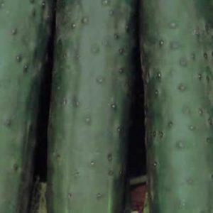 Cucumber Marketmore