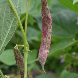 rench Dwarf Bean Barlotto Di Fuoco