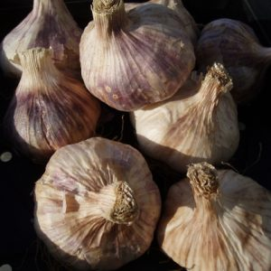 Garlic Thermidrome