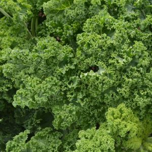 Kale Westland Winter