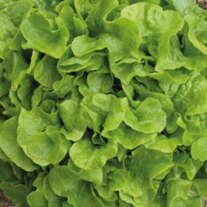 Lettuce Avenir