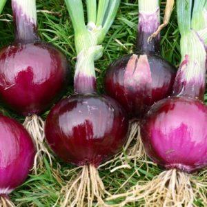 Onion Robelja