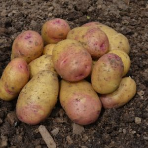 Potato Carolus