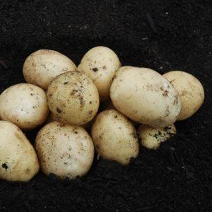 Potato Casablanca