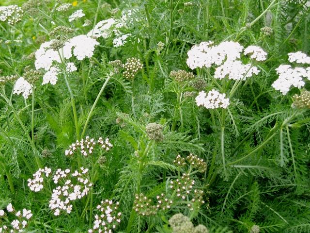 Organic Herb Yarrow (p) - Tamar Organics