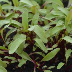 Beetroot Bulls Blood Microgreen