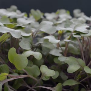 Cabbage Red Drumhead Microgreen