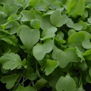 Raddish Daikon Microgreen