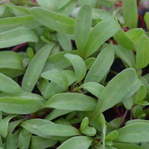 Rhubarb Chard Microgreen