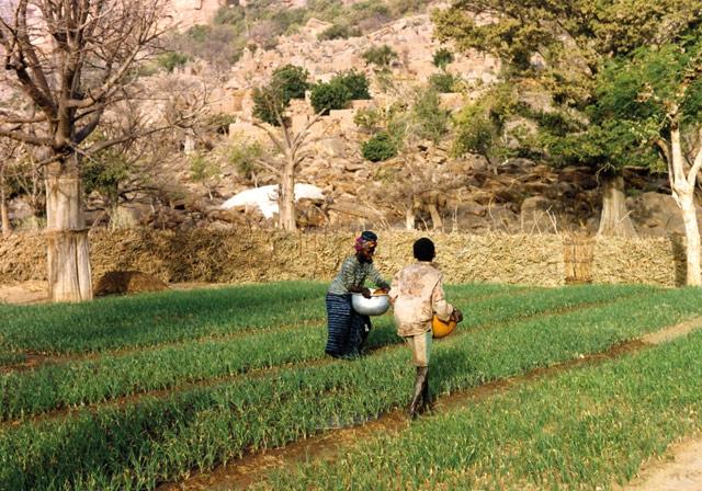 planting saplins joliba