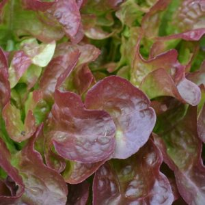 Lettuce Stelix